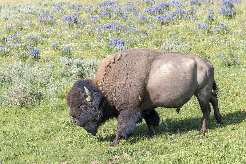 bisonlupines.jpg