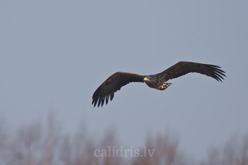White-tiled eagle in flight