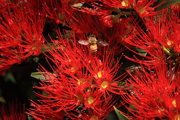 New Zealand Southern Rata and flying  Italian honey bee