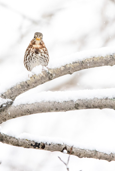 Fox Sparrow in snow October Skogstjarna Carlton County MN  IMGC7847.jpg