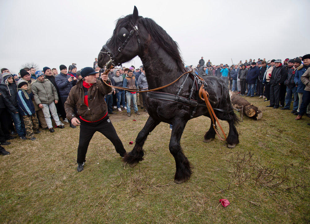 . A horse pulls a log during a competition that followed a traditional Epiphany celebration race in Pietrosani, Romania, Monday, Jan. 6, 2014. According to the local Epiphany traditions, following the religious service, villagers get their horses blessed with the Holy water then compete in a race. (AP Photo/Vadim Ghirda)