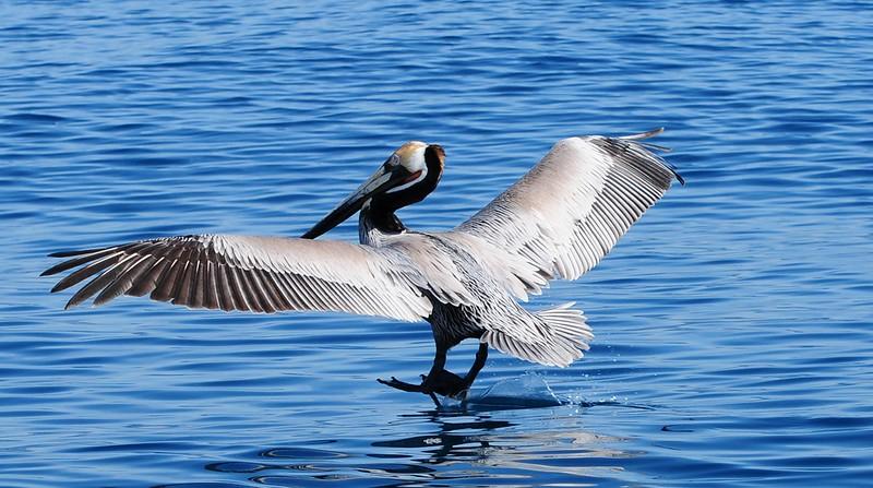 Brown Pelican - 3/2/2013 - SD Bird Festival Pelagic