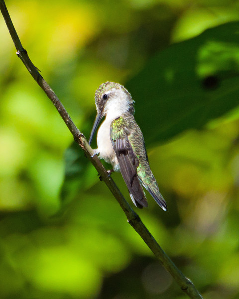 "Hummingbird, Ruby Throated ""Pose"" 9196"