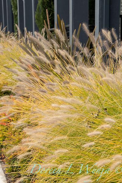 Pennisetum alopecuroides 'Desert Plains' Prairie Winds_3460.jpg