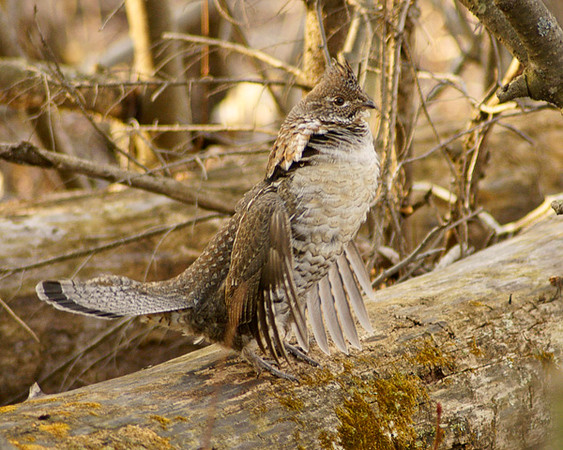 May 4, 2008 Ruffed Grouse