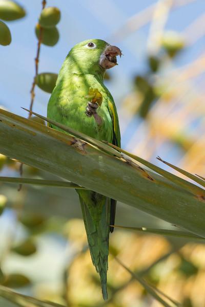 Yellow-chevroned Parakeet