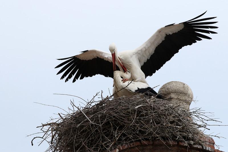 Cigogne blanche - <i>Ciconia ciconia</i> - White Stork