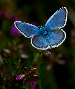 Lycaenide - Hairstreaks, coppers and blues