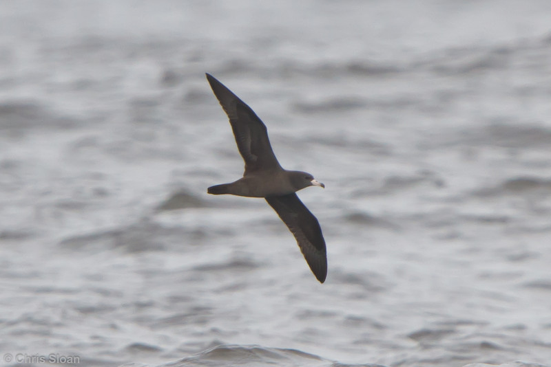 Flesh-footed Shearwater at pelagic out of Bodega Bay, CA (10-15-2011) - 326.jpg