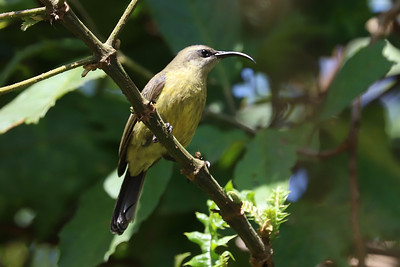 Green Sunbird