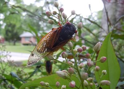 Cicadas - After the Rain - 1