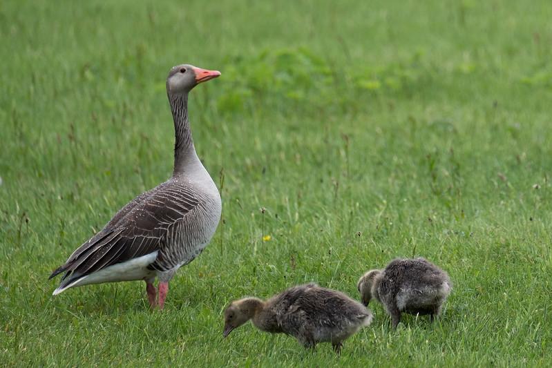 gęgawa | greylag goose | anser anser
