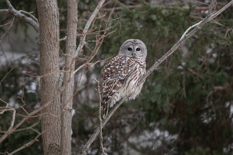 #1562 Barred Owl