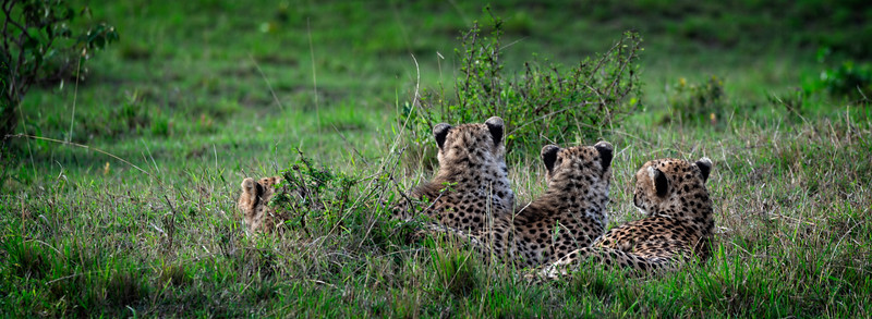 Cheetah Cubs on Lookout