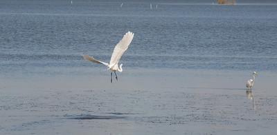 Egrets Mobile Bay