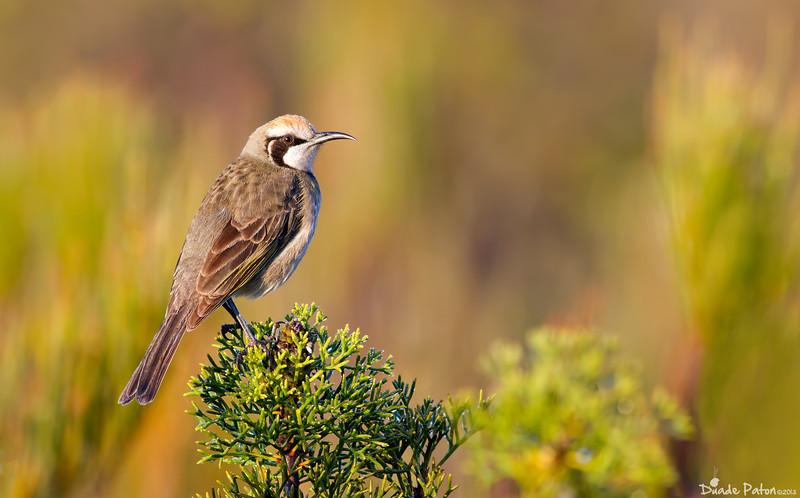 Tawny-crowned Honeyeater