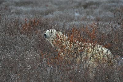 20121028 Churchill Polar Bear Safari