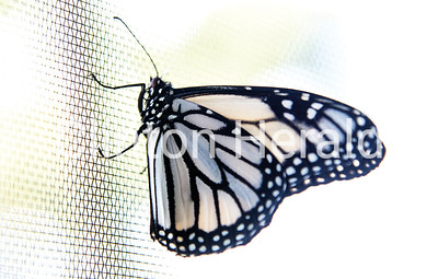 White Monarch Butterfly 9-17-18