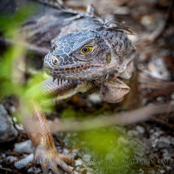 Iguana Stalks Prey