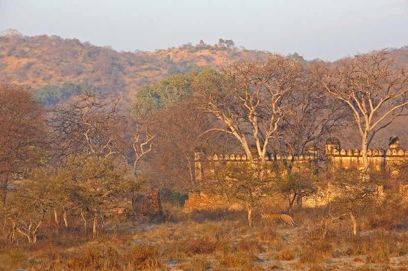 Tiger in its habitat in the ancient ruins of Ranthambhore national park, India