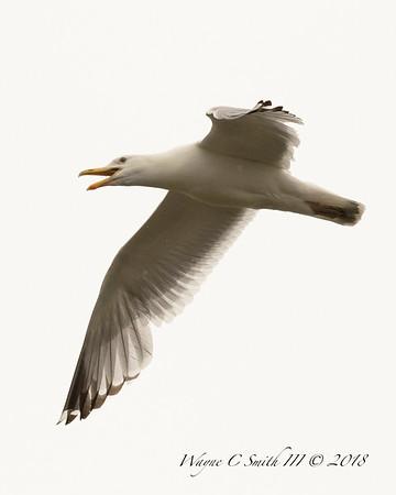 Sea Gulls Misc