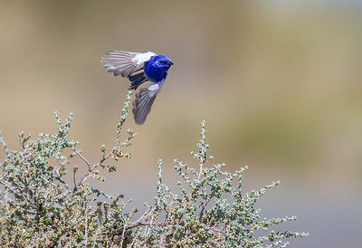 White-winged Fairy-wren (Malurus leucopterus)
