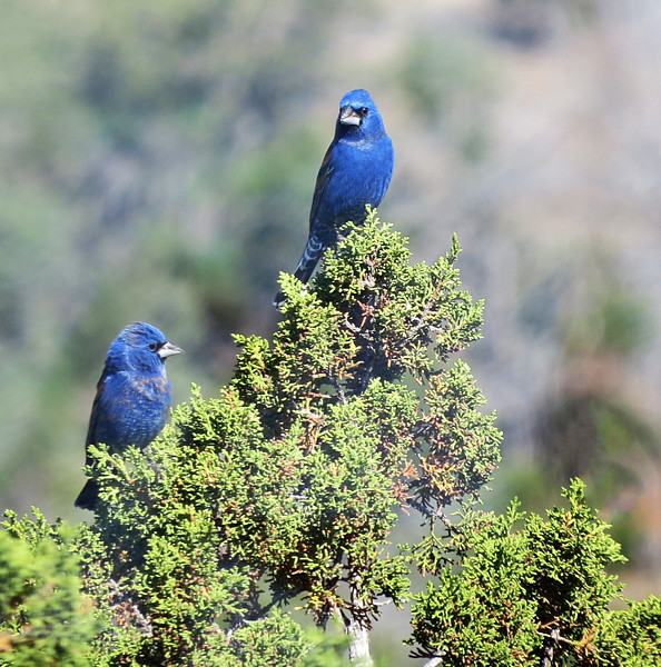 Blue Grosbeaks2.jpg