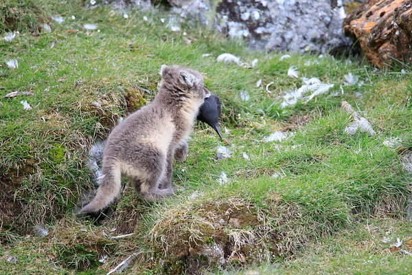 Arctic Fox Kits with food Svalbard Norway 2018