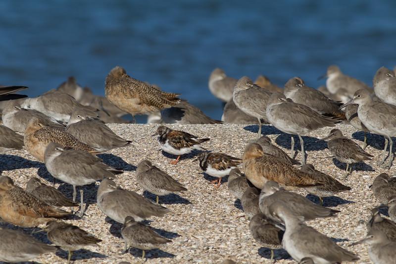 Shorebirds - Foster City, CA, USA