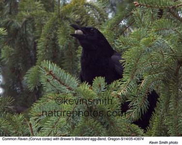 CommonRaven&Egg43874.jpg