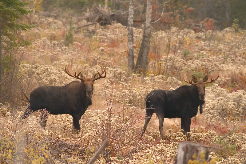We called in these two bull Moose during the rut. After a stare down the smaller one ran off into the woods; The bigger one followed and they started fighting. We could only hear the clashing of antlers [October; Superior National Forest, Cook County, Minnesota]