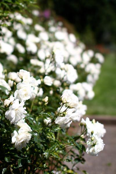 Portland International Rose Test Garden  2260.jpg