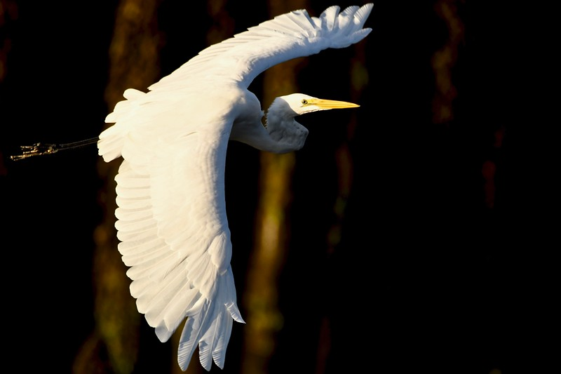 Great Egret 8:19:20.jpg