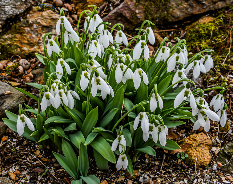 Winter Snowdrops in Bloom