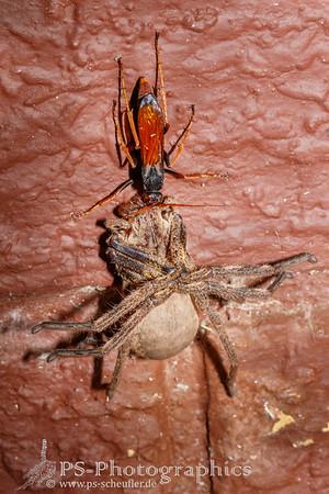 1512_Spider_Wasp