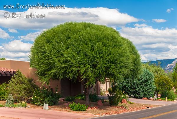 Salix matsudana 'Navajo' (Navajo Globe Willow) & Salix matsudana 'Umbraculifera' (Globe Willow)