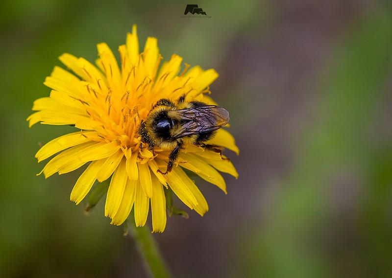 Dandybee web.jpg