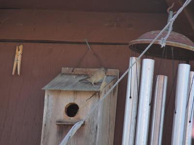 Backyard Birds, 3-12-11