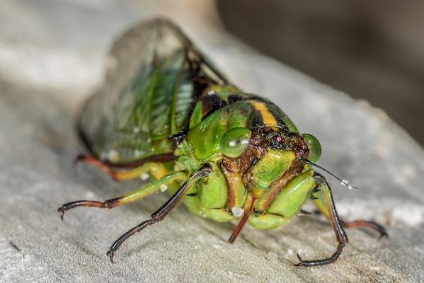 Kikihia subalpina - Subalpine green cicada