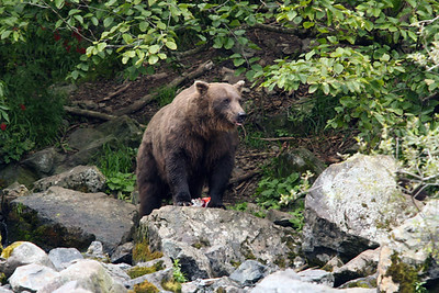 2nd BEAR VIEWING 2008