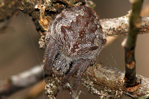Garden Orb Spiders