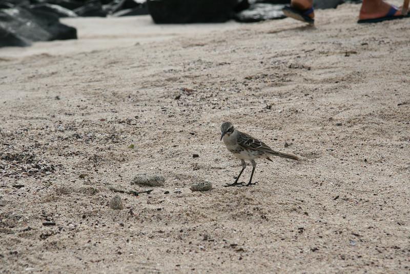 2007-02-19-0042-Galapagos with Hahns-Day 3, Espanola-Galapagos Mockingbird.JPG