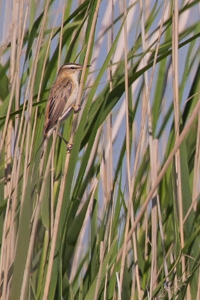 Sedge Warbler (Schilfrohrsänger)