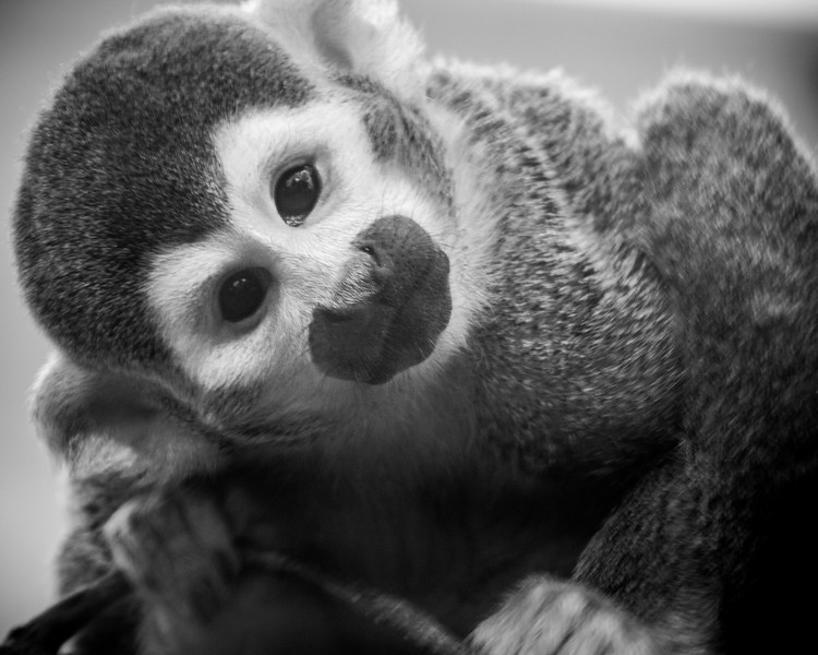 Super Cute Squirrel Monkey at Elmwood Zoo Park in Norristown, PA.