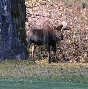 Moose in Fall Colors 10-30-18