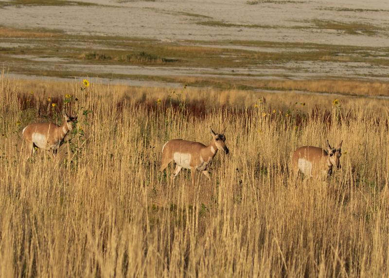 Pronghorn  Antelope Seeking Salt and Minerals in the Great Salt Lake