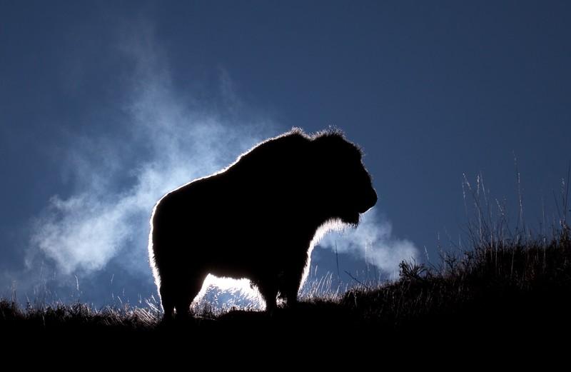 Bison Teddy Roosevelt National Park Medora ND IMG_6335.jpg