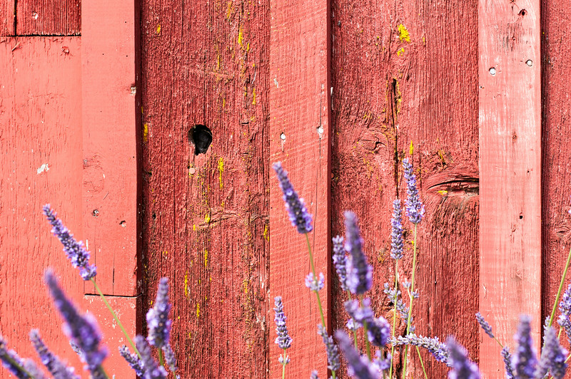 Lavender bernice 2 179.jpg