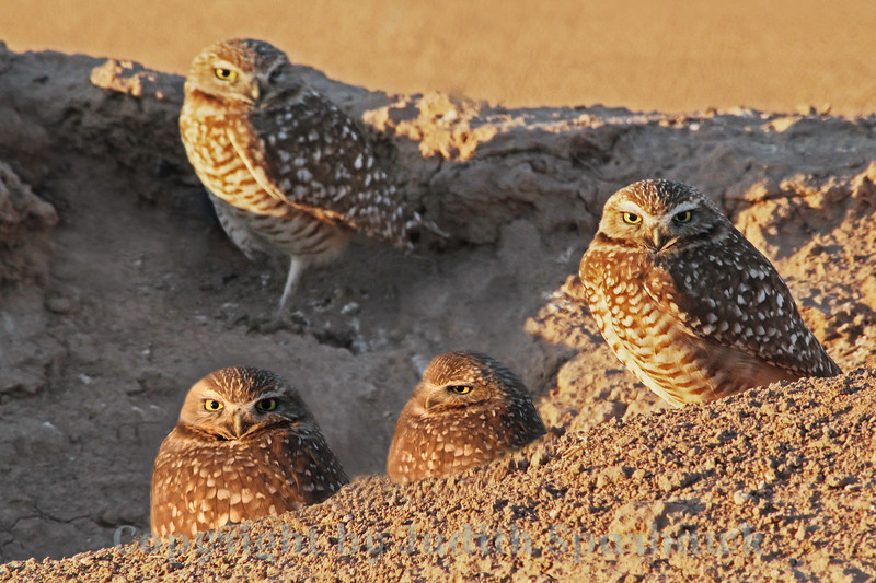 Burrowing Owl Family ~ This happy family lives in the Imperial Valley of California, near the Salton Sea.  They live in burrows in the banks of the agricultural irrigation ditches along the farm fields.  This group appeared to have at least three holes they would disappear into.