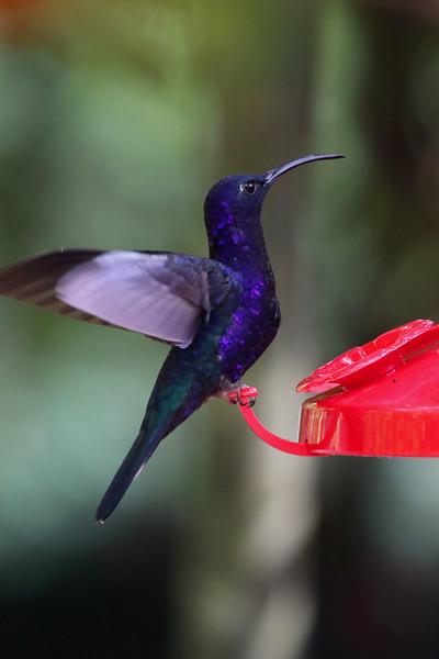 Violet Sabrewing.jpg